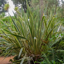 Phormium tenax Variegatum - 10 Litre Pot