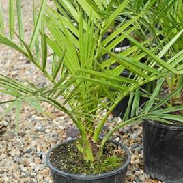 Phoenix Canariensis 18cm Pot