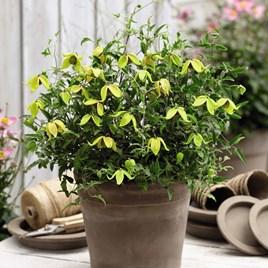 Clematis Little Lemon 2 Litre Pot x 1
