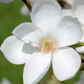 Magnolia Norman Gould 5 Litre Pot x 1