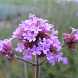Verbena Lollipop 2 Litre Pot x 1
