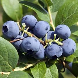 Fruit Blueberry Bluecrop 10 Litre Pot (60cm Height) x 2 Inc: