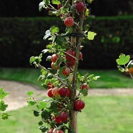 Fruit Gooseberry (Ribes uva-crispa) Xenia 3 Litre Pot x 1
