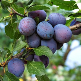 Plum (Prunus) Herman (VVA 1) 12L Pot x 1
