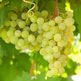 Grape (Vitis) Lakemont 3L Pot x 1