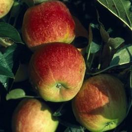 Apple - Winter Gem