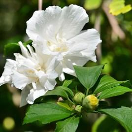 Hibiscus Syriacus White Pillar 13cm Pot x 1