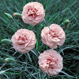 Dianthus (Pinks) Doris