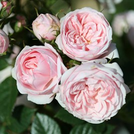 Rose (Patio) Silver Wishes 3 Litre Pot x 1