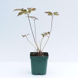 Anemone Hybrida Serenade - Plants