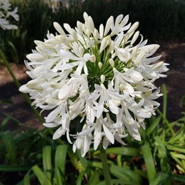 Agapanthus Arctic Star Plants