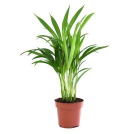 Areca Dypsis Palm Tree (Golden Cane Palm) 13cm Pot x 2 Inc: