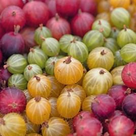 Gooseberry Collection 3 Litre Pots x 3 Inc: