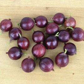 Gooseberry (Ribes uva-crispa) CaptIvator 3L Pot x 1