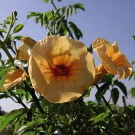 Campsis Yellow Trumpet