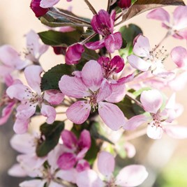 Fruit Malus Appeltini 13cm Pot x 2 Inc: