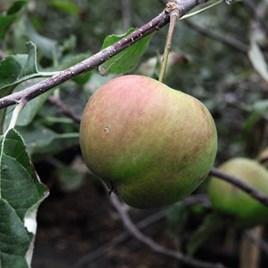 Apple (Malus) Jonagold (M26) 12L Pot x 1