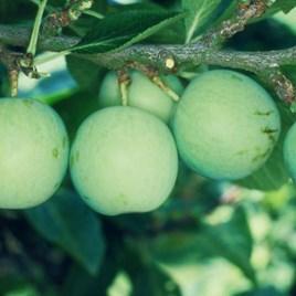Gage (Prunus) Old Green Gage (VVA 1) 12L Pot x 1