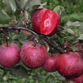 Apple (Malus) Tickled Pink Baya Marisa