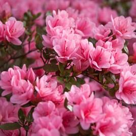 Azalea Plant - Madame van Hecke