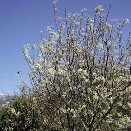 Amelanchier (Juneberry) Canadensis