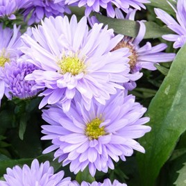 Aster Plants - Normans Jubilee
