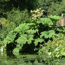 Gunnera manicata Plant