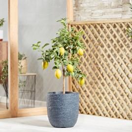 Lemon (Citrus) Eureka 5L Pot x 1