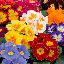 Primrose Plants - Alaska Multi-Colour