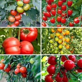 Grafted Tomatoes - Lucky Dip