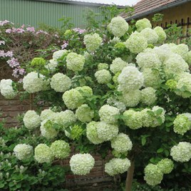 Viburnum Macrocephalum Happy Fortuna