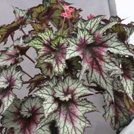 Begonia Red Tempest