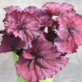 Begonia Rosy Jewel