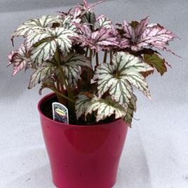Begonia Benichoma