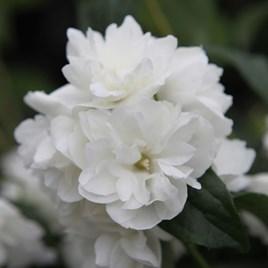 Philadelphus Shrub Plant - Virginal