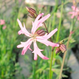 Lychins flos-cuculi Plant