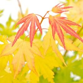 Acer palmatum Plant - Orange Dream