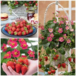 Strawberry Collection 9cm Plants