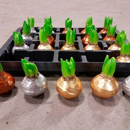 Hyacinth In Wax (3)