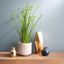 Houseplant Cyperus Haspan
