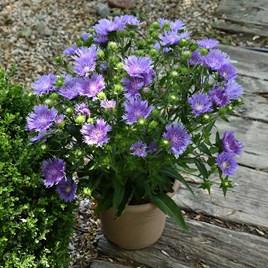 Stokesia Plant - Mels Blue
