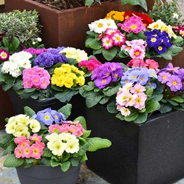 Primula Mix Plants (18)