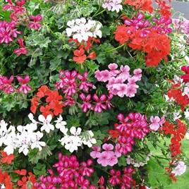 Geranium Trailing Mix Plants - Our Selection