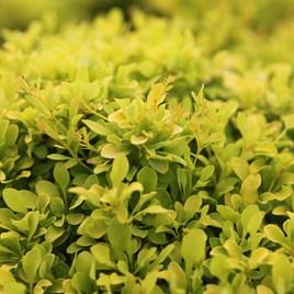 Berberis Thunb. Tiny Gold