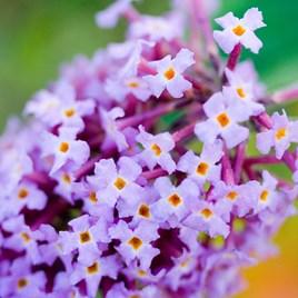 Buddleja davidii Plant - Camberwell Beauty®