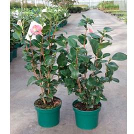 Camellia japonica Plant - Souvenir de Hubert Thoby