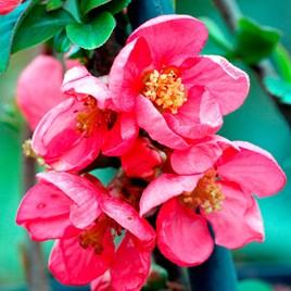 Chaenomeless superba Plant - Pink Lady