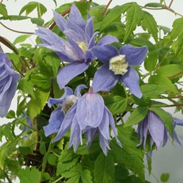 Clematis alpina Plant - Frances Rivis