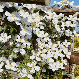 Clematis montana Plant – Grandiflora 2-3 Litre Pot x 1