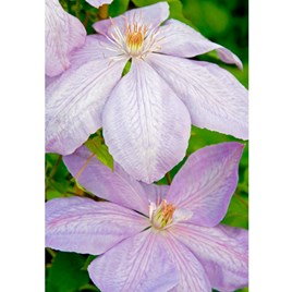 Clematis Plant - Mrs Cholmondeley